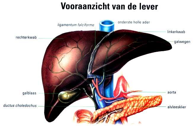 de lever anatomie